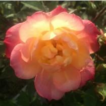 Sárga-vörös törpe rózsa - 'Baby Masquerade'