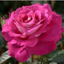Lilásrózsaszín tearózsa - 'Baronne E.de Rotschild'