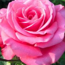 Rózsaszín tearózsa - 'Bel Angel'
