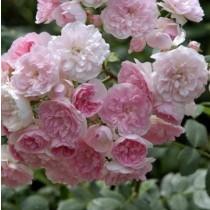 Halvány rózsaszín futó-kúszórózsa - 'Belle de Sardaigne'
