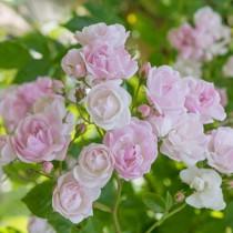 Rózsaszín, történelmi rózsa - 'Belvedere'
