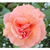 Rózsaszín tearózsa - 'Bettina'