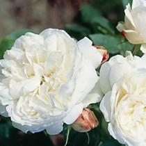 Fehér törperózsa - 'Bianco'
