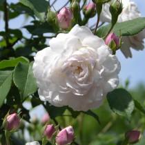 Rózsaszín-fehér, történelmi rózsa -Blush Noisette'
