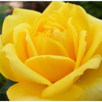 Sárga  tearózsa - 'Casanova'