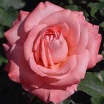 Korall-rózsaszín ágyásrózsa - 'Chic Parisien'
