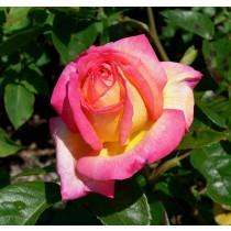 Vörös-sárga tearózsa - 'Colourama'