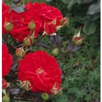 Bordó ágyás rózsa - 'Dalli Dalli'
