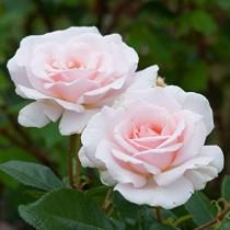 Halvány rózsaszín tearózsa - 'Delset'