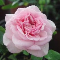 Halványrózsaszín romantikus rózsa - 'Diadal'