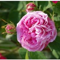 Rózsaszín történelmi bokor rózsa - 'Duchesse de Rohan'