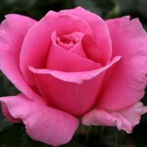Rózsaszín tearózsa - 'Eiffel Tower'