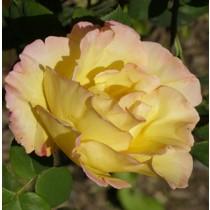 Sárga  tearózsa - 'Emeraude d'Or''