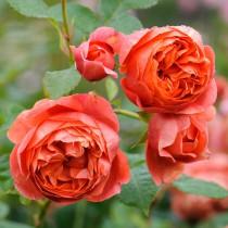 Narancssárga, romantikus angol rózsa - 'Emilien Guillot'