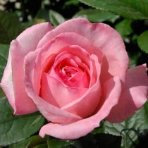 Rózsaszín ágyásrózsa -'Favorite'