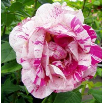 Fehér lila-bíbor csíkos bokor rózsa - 'Ferdinand Picard'