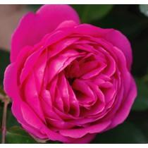 Mély rózsaszín történelmi rózsa -'Frau Dr.Schriker'