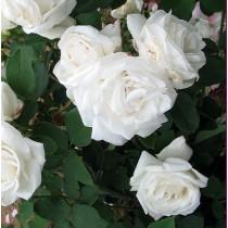 Fehér bokor, történelmi rózsa - 'Frau Karl Druschki'