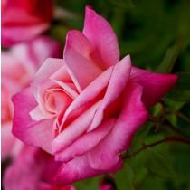 Lila-rózsaszín tearózsa - 'Freiheitsglocke'
