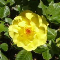 Sárga ágyásrózsa - 'Friesia'