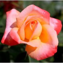 Rózsaszín-sárga tearózsa - 'Frohsinn''