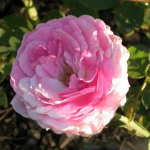 Rózsaszín történelmi rózsa - 'Geschwinds Orden'