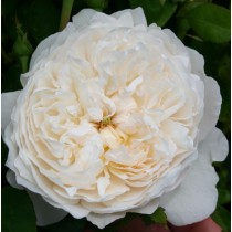 Krémfehér romantikus rózsa - 'Auslevel' ill. 'Glamis Castle'