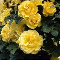 Sárga futó-kúszó angol rózsa - 'Golden Showers'