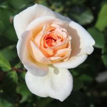 Fehér tearózsa - 'Grand Mogul'