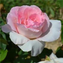 Rózsaszín tearózsa - 'Grand Siecle'