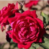 Sötétvörös történelmi rózsa -'Gruss an Teplitz