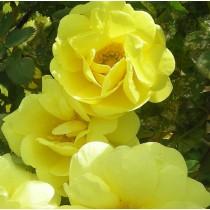 Halvány sárga töténelmi, angol, bokor rózsa - 'Harisonii'