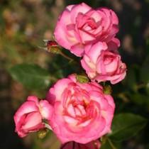 Fehér, ciklámen széllel, történelmi kúszó rózsa - 'Harlequin'