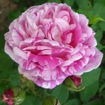 Rózsaszín, lila bokor, történelmi rózsa -  Honorine de Brabant'