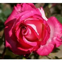Lilás-rózsaszín tearózsa -'Isabel de Ortiz'