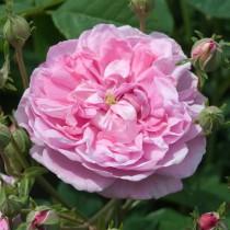 Rózsaszín történelmi rózsa - 'Ispahan'