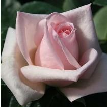 Rózsaszín tearózsa -'Königlicht Hoheit'