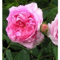 Rózsaszín, történelmi rózsa - 'Königin von Dänemark'