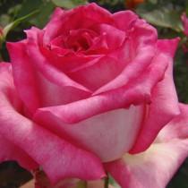 Rózsaszín-fehér tearózsa - 'Kordes Perfecta'
