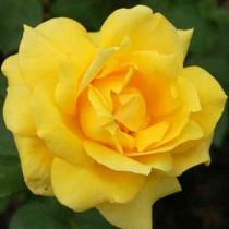 Sárga tearózsa - 'Landora'