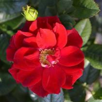 Vörös törperózsa - 'Libán'