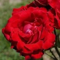 Vörös törperózsa -'Lollipop