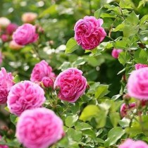 Rózsaszín történelmi rózsa - 'Louise Odier'