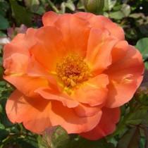 Narancssárga  bokor rózsa - 'Lydia'