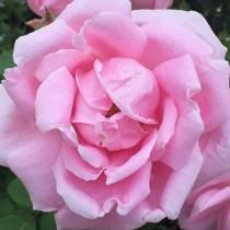 Rózsaszín tearózsa - 'Madame Caroline Testaut'