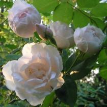 Fehér történelmi futó rózsa - 'Madame A.Carriere'