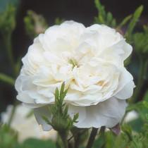 Fehér történelmi damaszkuszi rózsa - 'Madame Hardy'