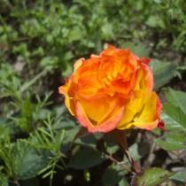 Rézsárga törperózsa - 'Mandarin'