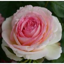 Rózsaszín, fehér sziromszéllel futórózsa - 'Meiviolin'