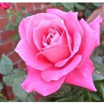 Rózsaszín törperózsa -'Moana'